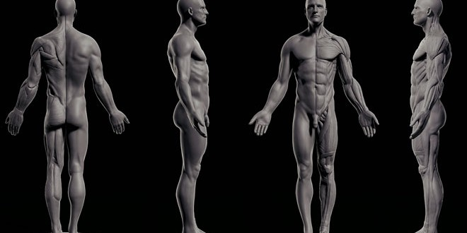 Male Anatomy Free Download By Reza Abedi Zbrushtuts